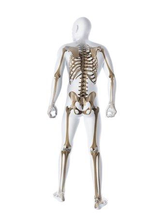 pelvis: Male skeleton,computer artwork LANG_EVOIMAGES