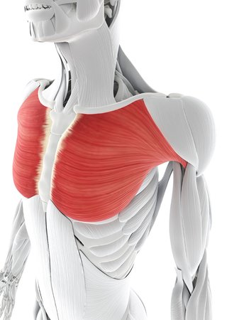 Chest Muscle Computer Artwork Showing The Pectoralis Major Muscle