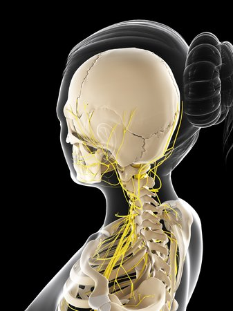 female likeness: Female nervous system,computer artwork