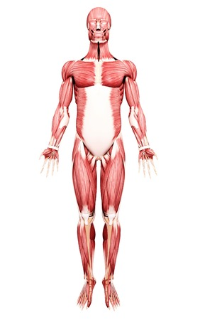 Male musculature,computer artwork