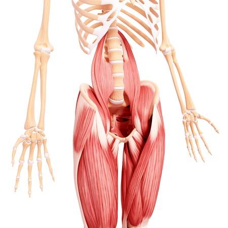 pelvis: Human leg musculature,computer artwork