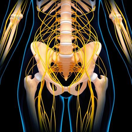 pelvis: Human nervous system,computer artwork LANG_EVOIMAGES
