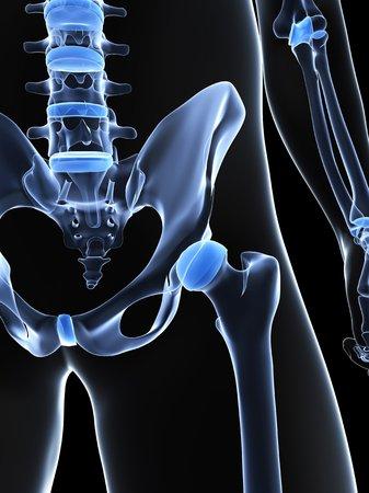 Male pelvis bones,computer artwork