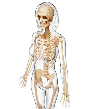 Esqueleto Femenino, Ilustraciones Fotos, Retratos, Imágenes Y ...