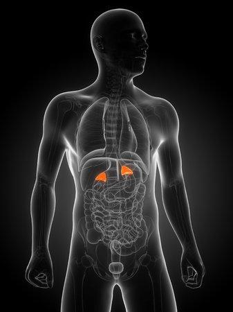 suprarrenales: Healthy adrenal glands,computer artwork LANG_EVOIMAGES