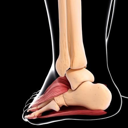 Human foot musculature,computer artwork