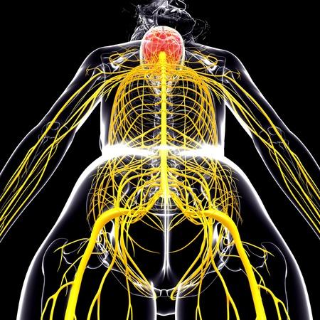cerebrum: Female nervous system,computer artwork