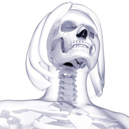 female likeness: Female skeleton,computer artwork