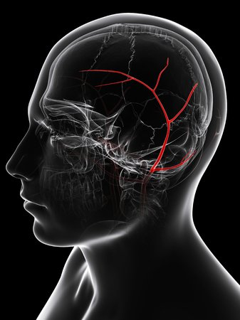 Temporal artery. Computer artwork showing the superior temporal artery