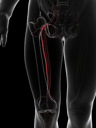 Arteria Del Muslo Ilustración De Computadora Que Muestra La Arteria ...