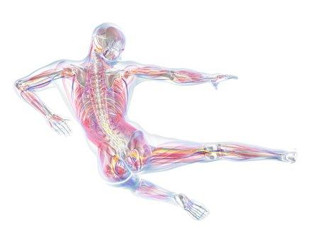 circulatory: Male anatomy,computer artwork