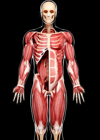 Human musculature,computer artwork
