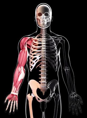 pelvis: Human arm musculature,computer artwork
