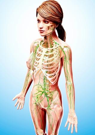 Female lymphatic system,computer artwork