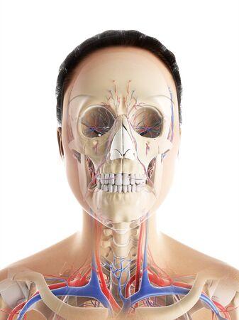 female likeness: Female vascular system,computer artwork LANG_EVOIMAGES