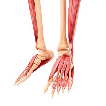 Human leg musculature,computer artwork