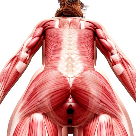 sphincter: Female musculature,computer artwork