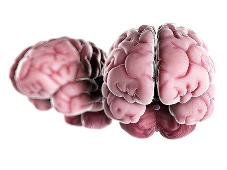 cerebrum: human brains,computer artwork