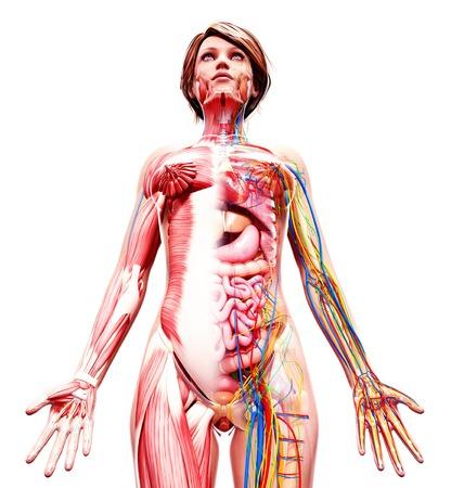 Female anatomy,computer artwork LANG_EVOIMAGES