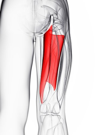 abductor: Thigh muscle. Computer artwork showing the abductor magnus muscle