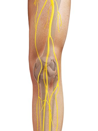 Leg nerves,computer artwork