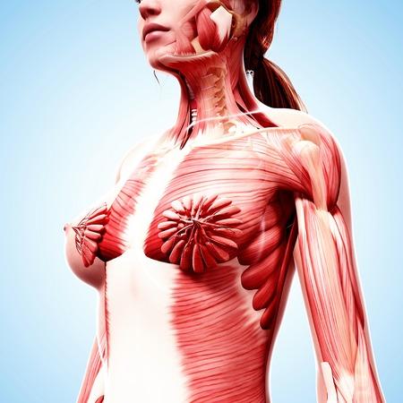 Female musculature,computer artwork