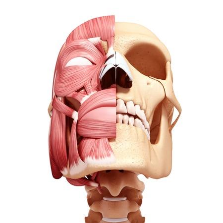 Human head musculature,computer artwork LANG_EVOIMAGES
