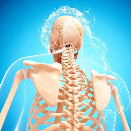 Female skeleton,computer artwork