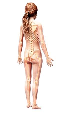 human likeness: Female skeleton,computer artwork