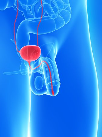 testes: Penis anatomy,computer artwork LANG_EVOIMAGES