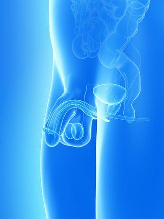 scrotum: penis anatomy