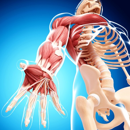 pectoralis: Male musculature,computer artwork
