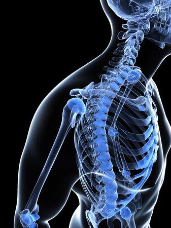 Male shoulder bones,computer artwork