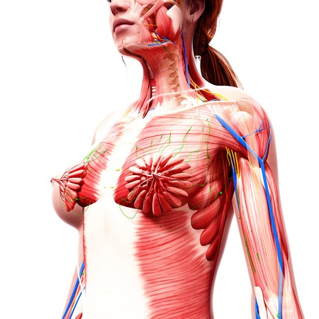 mammary: Female anatomy,computer artwork LANG_EVOIMAGES