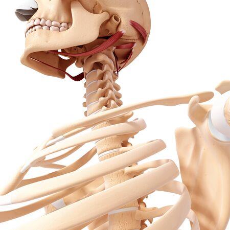 Human neck musculature,artwork
