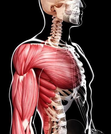 pectoralis: Human musculature,artwork
