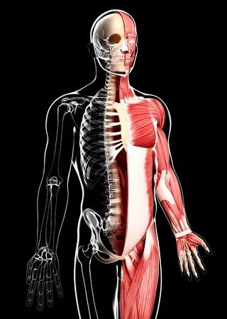 pectoralis: Male musculature,artwork