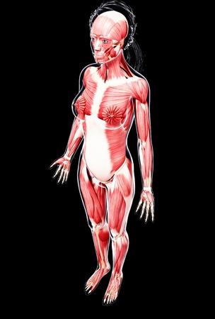 Female musculature,artwork