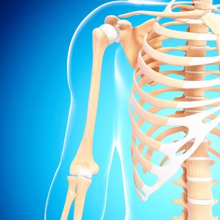 thorax: Human skeleton,computer artwork