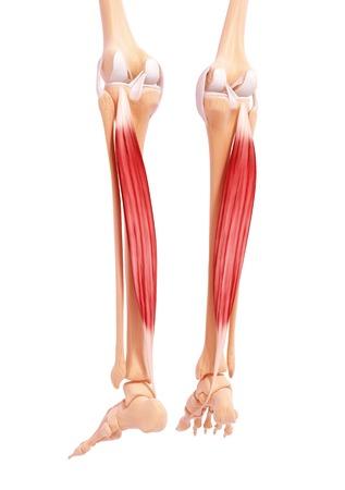 Human leg musculature,artwork LANG_EVOIMAGES