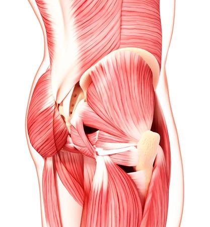 musculature: Human hip musculature,artwork
