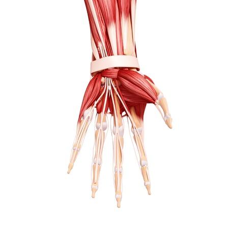 Human hand musculature,computer artwork