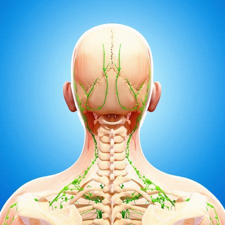 Human lymphatic system,artwork