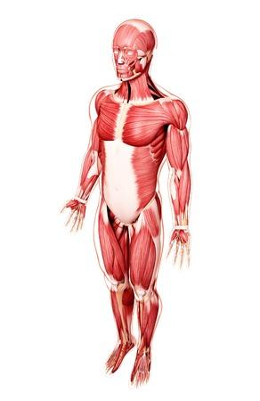 Human musculature,artwork