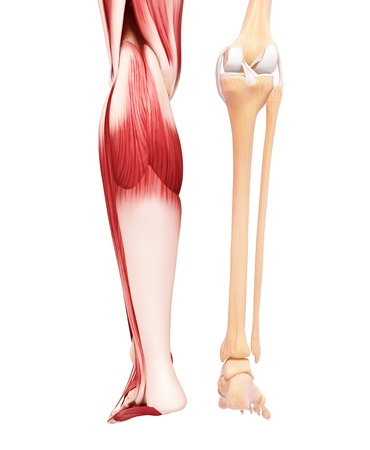 human leg stock photos & pictures. royalty free human leg images, Muscles