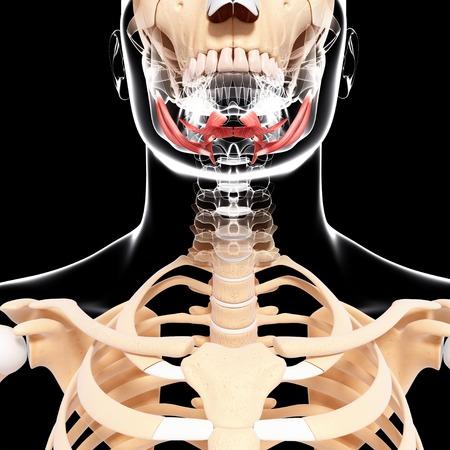 musculature: Human head musculature,artwork LANG_EVOIMAGES