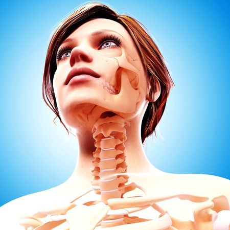 Female skeleton,artwork LANG_EVOIMAGES