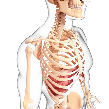thorax: Human musculature,artwork