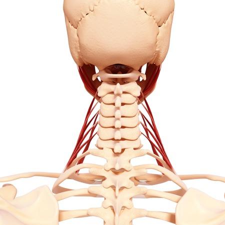 Human neck musculature,computer artwork LANG_EVOIMAGES