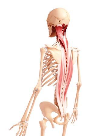 Human musculature,computer artwork